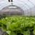 Uzgoj salate u plasteniku - kako ju posaditi i zaštititi