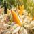 Zabranom glifosata i uvoza GMO kukuruza Meksiko zadaje udarac SAD-u