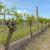 Kalemljenje na zeleno - efikasan način zamjene starih sorti u zasadu