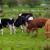 Izbacivanje mesa iz prehrane neće smanjiti zagađenje okoliša - rješenje je u ispaši stoke?