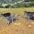 Koze im pojele ostrvo - pobrstile svo zelenilo i uzrokovale eroziju zemljišta