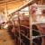 Znanstvenici na svinjama ispituju cjepiva protiv Covid-19 i afričke svinjske kuge