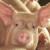Najveća nam opasnost od Afričke svinjske kuge prijeti iz Rumunjske