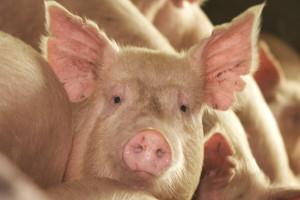TISUP: Ovako visoka prosječna otkupna cijena svinjskih trupova nije zabilježena od 2013.
