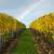 Poslije berbe u vinogradu slijede đubrenje, obrada tla i zagrtanje čokota