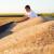 Prinosi pšenice neujednačeni - kvalitet dobar, početna cena oko 17 dinara