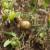 Plamenjača paradajza: Kako spriječiti, liječiti i izliječiti