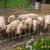 Postavljanje dvostrukih ograda za svinje: U srpnju javni poziv za sufinanciranje troškova