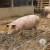 Afrička kuga svinja i u Zaječaru - na farmi u blizini granice sa Bugarskom