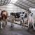 Šepavost krava ima brojne posledice - kako je sprečiti, a kako lečiti?
