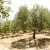 Poharani europski maslinici - suša i požari smanjit će proizvodnju maslinovog ulja?