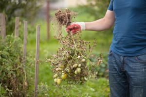 Rajčica slabo rodi i suši se – da nisu nematode?