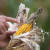 Opasnost od pojave aflatoksina u kukuruzu