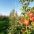 Ne izostavite folijarnu gnojidbu nasada nakon berbe, a prije opadanja lišća