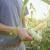 Fenofaze kukuruza: Od klijanja do zrenja