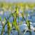 Kaljenje ozime pšenice i otpornost prema mrazu