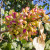 S tršljom na smrdljiki do komercijalnog uzgoja pistacija u Hrvatskoj