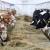 Koji faktori utiču na plodnost krava?