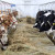 Kako do većeg prinosa mlijeka kod muznih krava?!