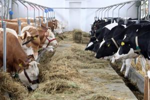 Kako do većeg prinosa mleka kod muznih krava?!