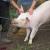 Nova pravila kod klanja svinja, što predlaže Europska komisija?