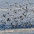 Jastrebovima protiv invazije galebova na ribogojilišta