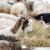 Mlijeko ovaca i koza koje se hrane sijenom dobilo oznaku TSG