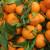 Porasla proizvodnja mandarina u BiH