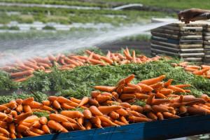 Čuvanje šargarepe tokom zimskog perioda