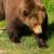 Na Zlatiboru ima 10 stalnih medveda
