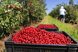 Za krčenje voćnjaka najveći krivci su političari, ali i pomodarstvo