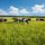 Ispaša u Vojvodini - put ka ekonomičnijem uzgoju stoke