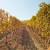 Jesenska obrada tla u vinogradu