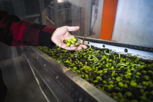 Drastičan pad cijene maslinovog ulja, EK odobrila program potpore