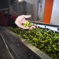 Drastičan pad cijene maslinovog ulja, Europska komisija odobrila program potpore
