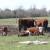Mleko od krava sa farme ili sa slobodne ispaše - koji je vaš izbor?