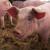 Za ne povjerovati je koliko cijene živih svinja mogu padati