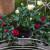Uzgoj mini ruža u saksijama - jednostavno i dekorativno