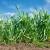 Najznačajnija ratarska kultura: Pšenica ima 10 fenofaza