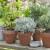 Posadite biljke koje teraju komarce iz bašte i sa balkona