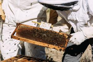 Raste broj košnica i pčelara u EU, za poticanje sektora osigurano 180 milijuna eura