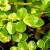 Lekovita salata potočarka: Sadite u septembru, berite do proleća