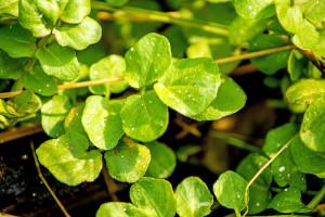 Ljekovita salata potočarka: Sijte u septembru, berite do proljeća