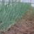 Crveni luk u plasteniku - sadnja i zaštita