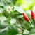Sprečite opadanje cvetova paprike umerenim zalivanjem i rezidbom