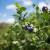 Detaljan plan gnojidbe borovnica folijarno i sustavom kap na kap