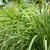 Zasadite limunsku travu u martu - u posudama ili na otvorenom