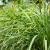 Zasadite limunsku travu u martu - u saksijama ili na otvorenom