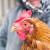 Natječaj: 100 milijuna kuna za alternativne načine držanja kokoši nesilica