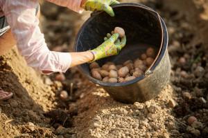 Na više od pola parcela izvađen krompir, veće cijene nadoknadile loš rod?